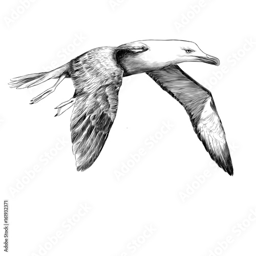 Fotografia, Obraz  Seagull Albatross bird in flight with open wings sketch vector graphics black an