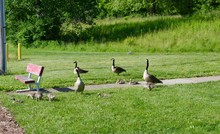 The Geese Family Gathering In ...