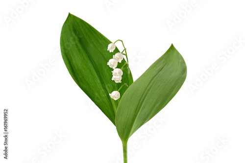 Foto auf Gartenposter Maiglöckchen Lily of the valley isolated on white background