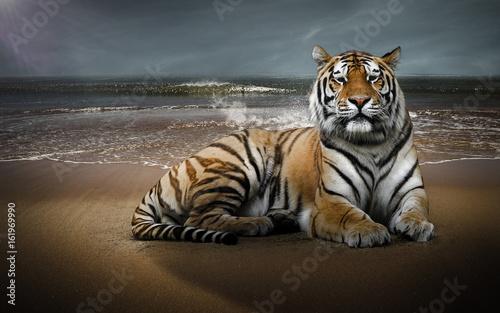 Photo sur Toile Tigre Tigre sur une plage
