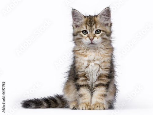 Photo  Black tabby Siberian Forest cat / kitten sitting isolated on white background fa