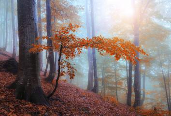 Fototapeta Autumn foggy sunny forest