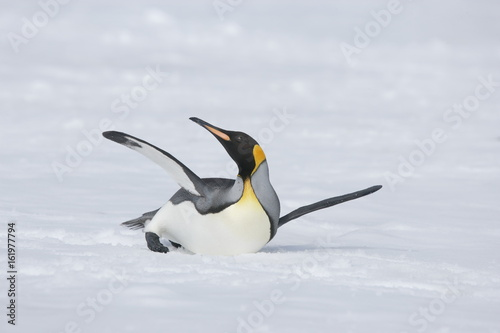 King penguin stretching on South Georgia Island