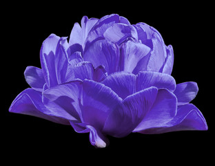 Panel Szklany Tulipany Tulips purple Flowers on the black isolated background with clipping path. Closeup. no shadows. Nature. .