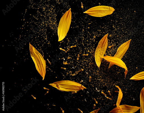 Sunflower petals with pollen isolated on black background
