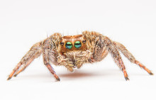 Jumping Spider Isolated On Whi...