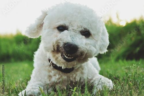 Photo  Bilbo Baggins the dog