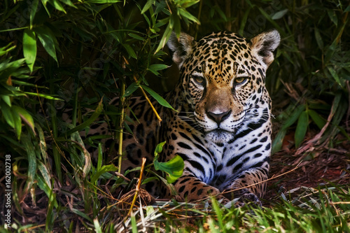 Photographie  Jaguar