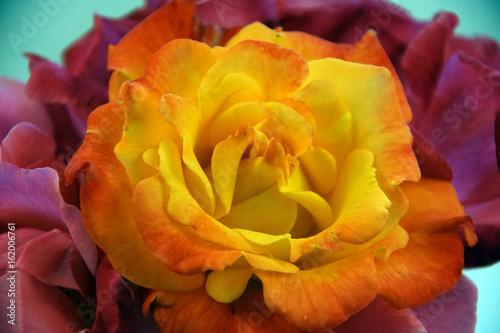 Rio Samba rose isolated Poster
