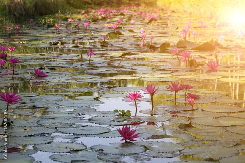 Photo Stands Water lilies Lotus flower (Lotus or Nelumbo)