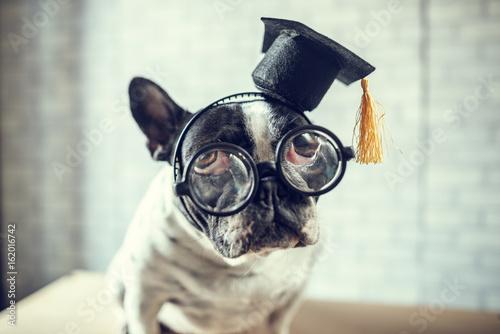 portret-psa-z-czapka-studenta-i-w-okularach-na-szarym-tle