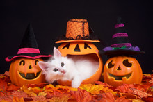 Fluffy White Kitten Peeking Out Of A Pumpkin Jack O Lantern, Two Smiling Jack O Lanterns Wearing Witch Hats On Both Sides. Fall Leaves On Ground With Black Background, Halloween Them With Cat