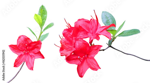 Cadres-photo bureau Azalea Flowering branches of red rhododendron isolated on white background.