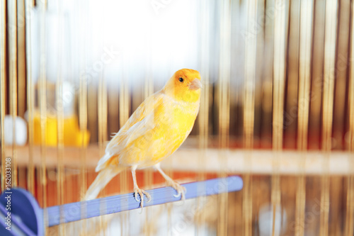 Fotografia  beautiful yellow Canary in a Golden cage