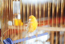 Beautiful Yellow Canary In A Golden Cage