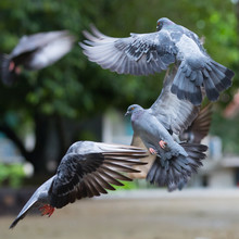 Flight Of Three Pigeons In One Frame