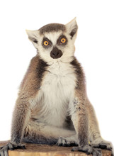 Cute Funny Ring-tailed Lemur In Zoological Garden