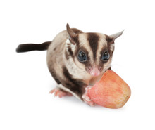 Cute Sugar Glider Eating Grape...