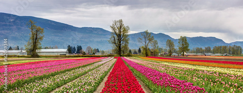 Panoramic view of colorful fields of Tulips in Chilliwack, BC for the tulips of the valley festival