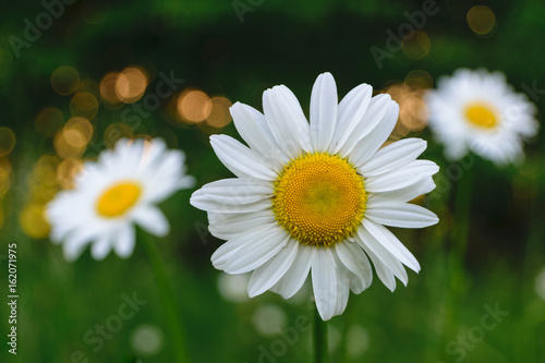 Foto op Canvas Madeliefjes White wild daisies in the evening at sunset