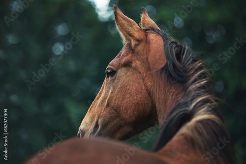 Fotomural Portrait of a bay horse