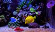 canvas print picture - Aquarium tropical fishes