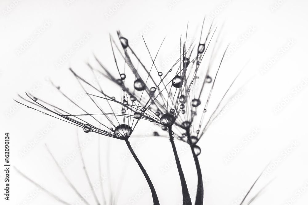 Fototapeta Wet Dandelion