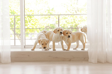 Cute labrador retriever puppies on window sill at home