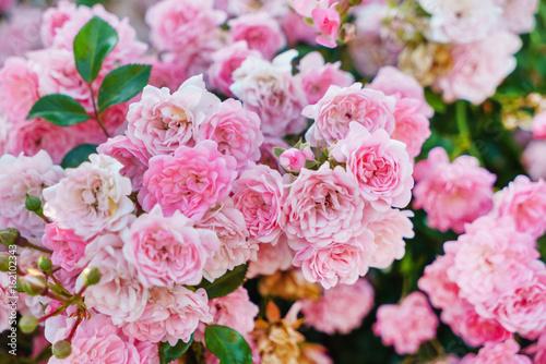 ladne-kolorowe-roze-w-ogrodzie
