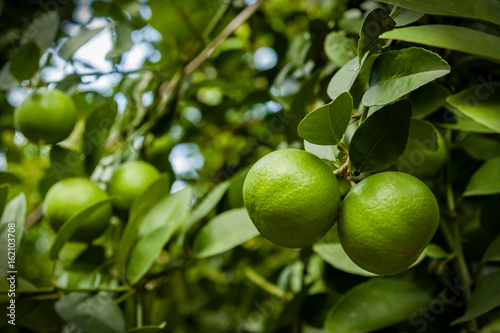 fresh green lime hanging on tree in farm with selective focus technique
