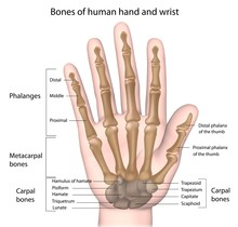 Bones Of The Hand, Labeled.