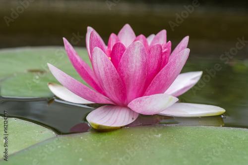 Foto op Canvas Waterlelies Schöne idyllische Seerose in pink am blühen im Garten im Teich - Nahaufnahme der Blume