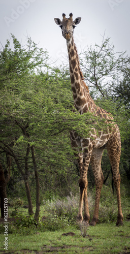 Foto op Plexiglas Leeuw Giraffe behind tree on savanna in amboseli park