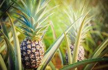 Pineapple Tropical Fruit Growi...