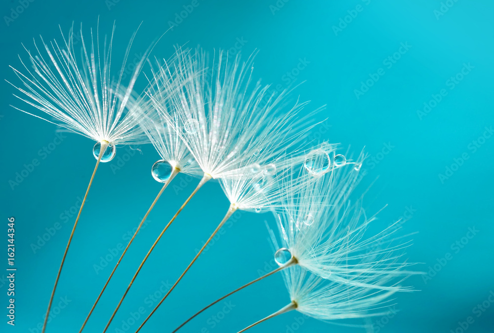 Fototapety, obrazy: Seeds of dandelion flowers with water drops on a blue and turquoise background macro.