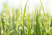 Green Grass With Morning Dew Background