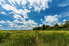Wide Angle View Of Field Of Wheat