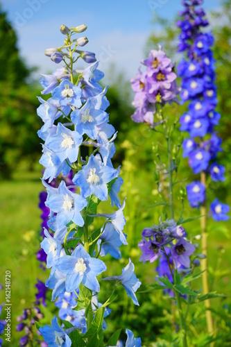 Leinwand Poster Delphinium - blue delphinium in garden - larkspur