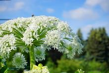 Heracleum Sosnowsky -   Herbac...