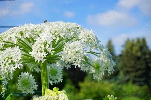 Heracleum sosnowsky -   Herbaceous species - a dangerous, invasive plant