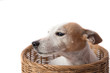 Close up of jack russel dog in the basket