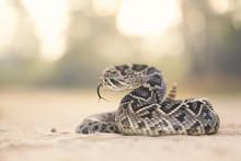 Eastern Diamondback Rattlesnake (Crotalus Adamanteus), Florida, America, USA