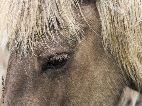 Canvas Prints Elephant Head and Eye of Icelandic Horse