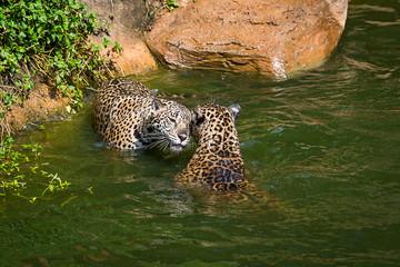 Fototapeta na wymiar Leopard.