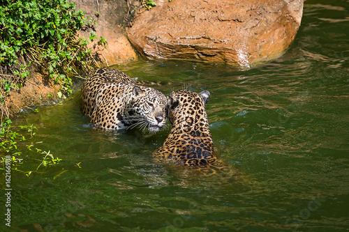 Obrazy na płótnie Canvas Leopard.