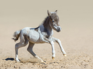 American miniature horse. Pinto newly born foal in motion.