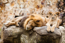 Lion (Panthera Leo) Resting On Top Of A Rock