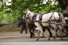 Horse Carriage 3 / Horses Pulling Tourists In Carriage Through Central Park In New York.