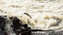 Atlantic Salmon, Salmo Salar, ...