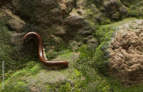 Vászonkép millipede and moss